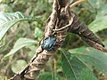 Besouro azul.jpg