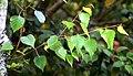 Betula szechuanica in Auckland Botanic Gardens 02.jpg