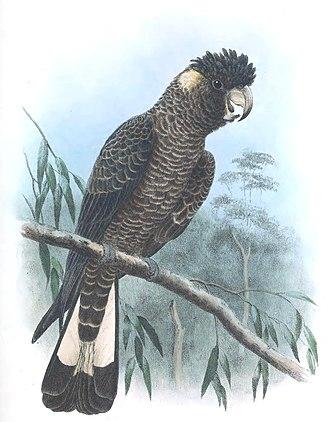 Baudin's black cockatoo - Illustration by Herbert Goodchild, 1916–17