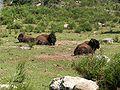 Bison bison 006.jpg