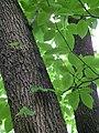 Blätter und Stamm Magnolia acuminata.JPG