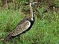 Black-bellied Bustard (Lissotis melanogaster) (6044792905).jpg
