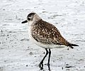 Black-bellied Plover (16257107919).jpg