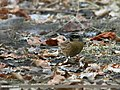 Black-throated Accentor (Prunella atrogularis) (23631902323).jpg