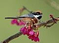 Black-throated Tit (Aegithalos concinnus) -on branch.jpg