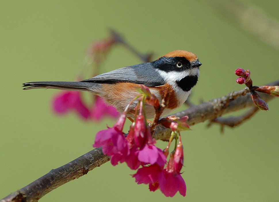 Black-throated Tit (Aegithalos concinnus) -on branch