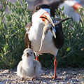 Black Skimmer and Chick by Dan Pancamo.jpg