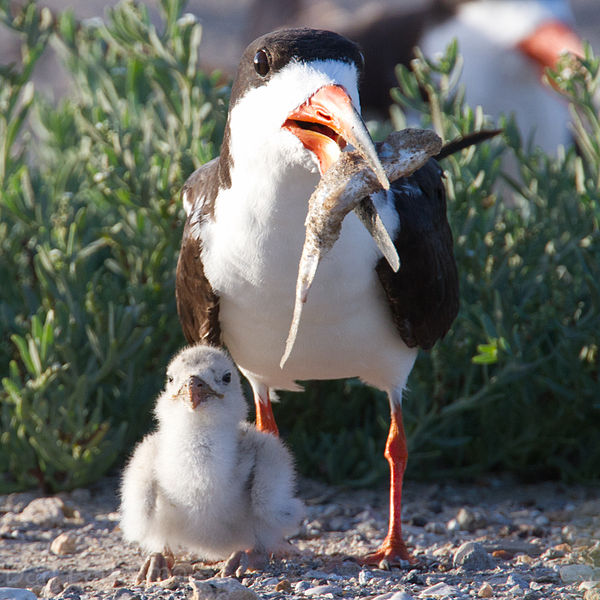 File:Black Skimmer and Chick by Dan Pancamo.jpg