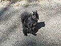 Black Squirrel (Sciurus carolinensis) -Canada.jpg