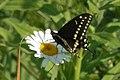 Black Swallowtail (Papilio polyxenes) - Guelph, Ontario.jpg