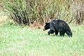 Black bear at Phantom Lake (27102710032).jpg