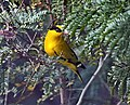 Black naped Oriole Id3m IMG 5629.jpg