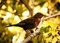 Blackbird (21144762651).jpg