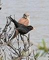 Blackbird and Kestrel.jpg