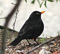 Blackbird in Madrid (Spain) 06.jpg