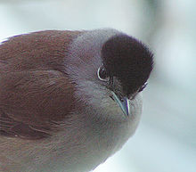 Blackcap-adult male.jpg