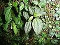 Blastus cochinchinensis 小株伯拉木有白腺點 2 (天問).jpg