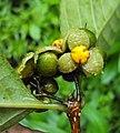 Blepharistemma serratum fruits 15.JPG