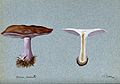 Blewit fungus (Lepista saeva); two fruiting bodies, one sect Wellcome V0043346.jpg