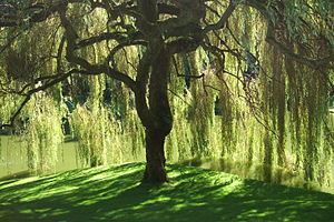 Bloedel Reserve - A willow tree at the reserve