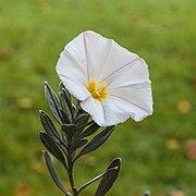 Bloem van Convolvulus cneorum (Zilverwinde). (d.j.b.) 02.jpg
