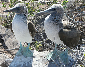Blue-footed booby - The male (left) has a smaller pupil and slightly lighter feet and is smaller in size than the female.