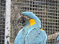 Blue-throated Macaw 01.jpg