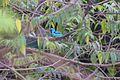 Blue Dacnis (Dacnis cayana) (4687346723).jpg