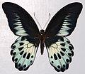 Blue Mormon (Papilio polymnestor) (8364216345).jpg