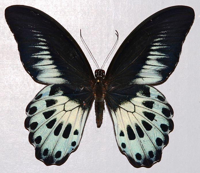 File:Blue Mormon (Papilio polymnestor) (8364216345).jpg