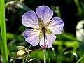 Blue blossom - Flickr - Stiller Beobachter.jpg