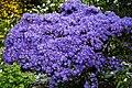 Blue species Rhododendron at RHS Garden Hyde Hall, Essex, England 01.jpg