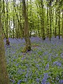 Bluebells in Row Wood - geograph.org.uk - 10392.jpg
