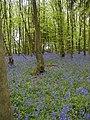 Bluebells in Row Wood - geograph.org.uk - 10392.jpg
