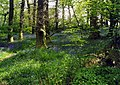 Bluebells in the Hermitage - geograph.org.uk - 499706.jpg
