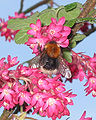 Boomhommel koningin op Ribes sanguineum (Bombus hypnorum queen).jpg