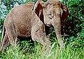 Borneo fili.jpg