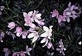 Boronia floribunda.jpg