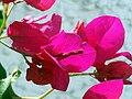 Bougainvillea spectabilis Flowers Closeup TorreLaMata.jpg
