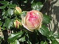 Bouton de Rose Pierre de Ronsard.jpg