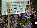 Brachycome from Lalbagh flower show Aug 2013 8201.JPG