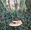 Bracket fungus - geograph.org.uk - 1046024.jpg