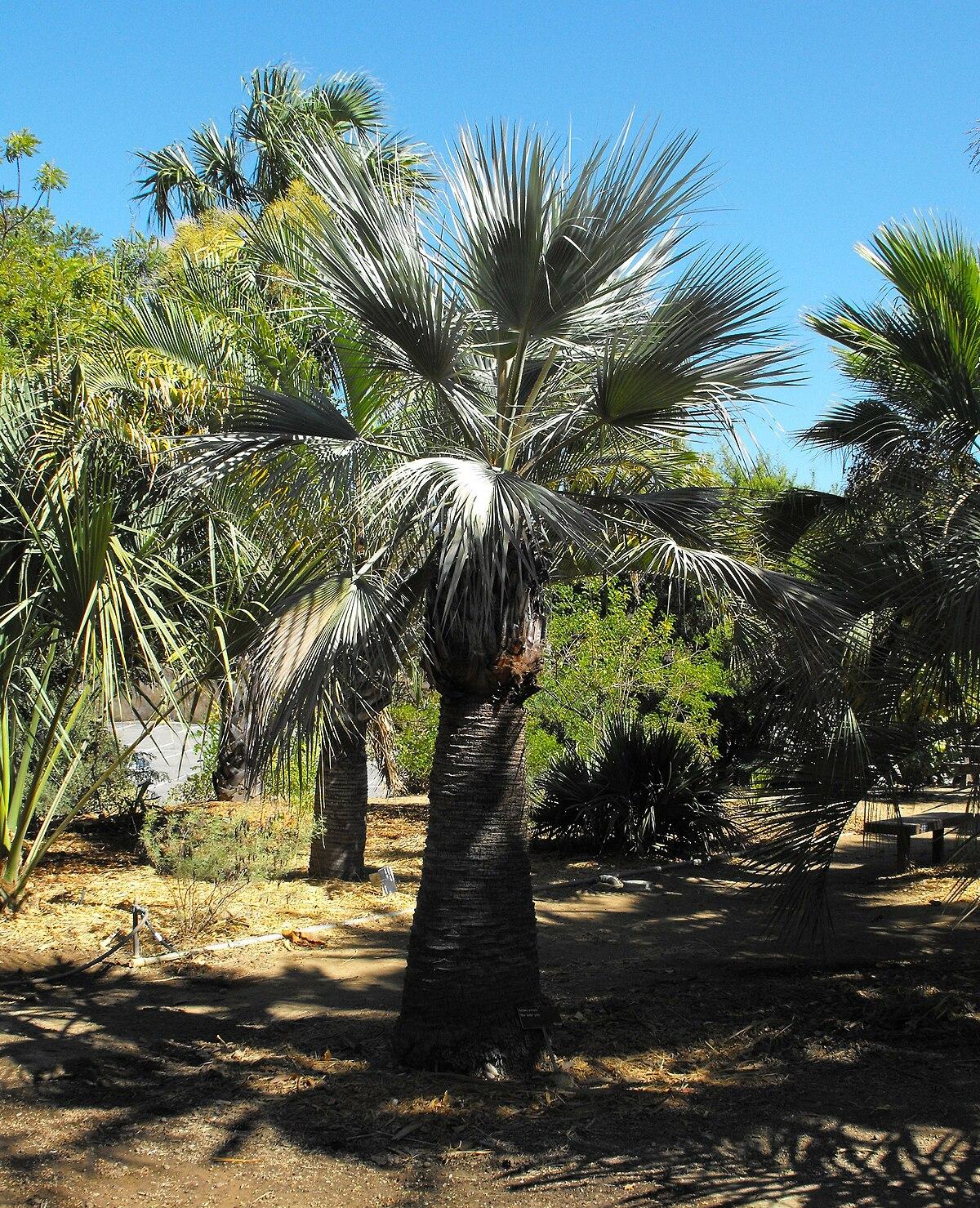 palmier traduction