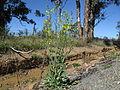 Brassica napus plant1 (14391753223).jpg
