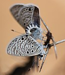 Bright babul blue mating.JPG