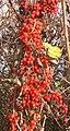 Bright berries (black bryony) in hedge - geograph.org.uk - 618481.jpg