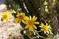 Brittlebush encelia at Anza Borrego State Park (30780245831).jpg