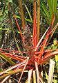 Bromelia balansae (19394616378).jpg