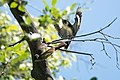 Brown-crested Flycatcher & Acorn Woodpecker Huachuca Canyon (lower) Sierra Vista AZ 2019-05-05 09-32-27 (46891433535).jpg