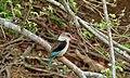 Brown-hooded Kingfisher (Halcyon albiventris) (9739040246).jpg